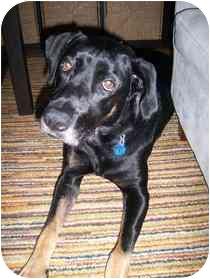 Labrador Retriever/Coonhound Mix Dog for adoption in Medford, Massachusetts - Lizzie