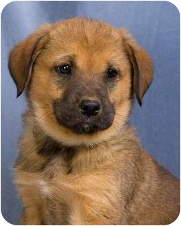 Chow Chow/Collie Mix Puppy for adoption in Anna, Illinois - TALLULAH