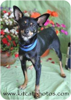 Miniature Pinscher Dog for adoption in Worcester, Massachusetts - Freckles