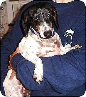 Dachshund Dog for adoption in Dallas, Texas - Sam