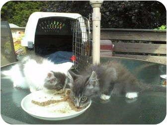 Domestic Mediumhair Kitten for adoption in Raritan, New Jersey - Skiddle&Skaddle