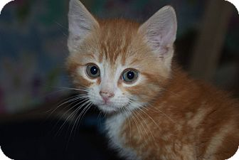 Domestic Shorthair Kitten for adoption in Berlin, Connecticut - Peaches