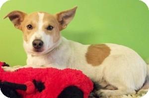Corgi/Rat Terrier Mix Puppy for adoption in Struthers, Ohio - Jason