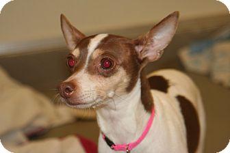 Rat Terrier Dog for adoption in Ponderay, Idaho - Emmy
