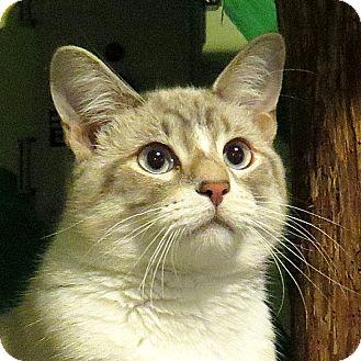 Siamese Cat for adoption in Columbia, Illinois - Frankie