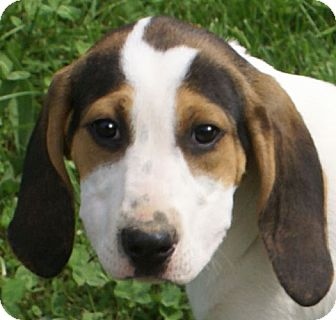 Pointer/Hound (Unknown Type) Mix Puppy for adoption in Plainfield, Connecticut - Charm