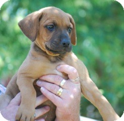 Boxer Mix Puppy for adoption in Providence, Rhode Island - Dolly