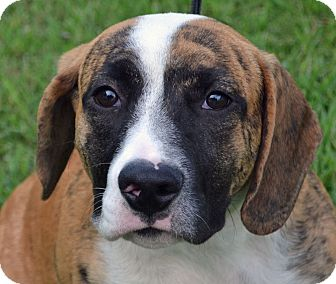 Hound (Unknown Type) Mix Dog for adoption in Searcy, Arkansas - Drew