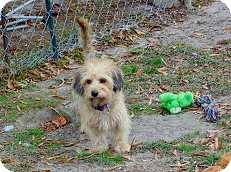 Cairn Terrier/Border Terrier Mix Dog for adoption in Kinston, North Carolina - Tanji
