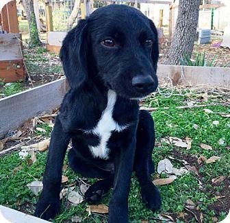 Cocker Spaniel/Labrador Retriever Mix Puppy for adoption in Austin, Texas - Loki