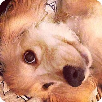 Cocker Spaniel Dog for adoption in Santa Ana, California - Lucky