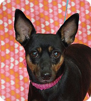 Miniature Pinscher Mix Dog for adoption in Jackson, Michigan - Lady