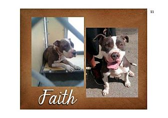 American Pit Bull Terrier Dog for adoption in West Los Angeles, California - FAITH-URGENT-Lives up to name!