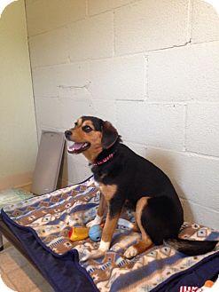 Beagle Mix Puppy for adoption in Sharon Center, Ohio - Valentine