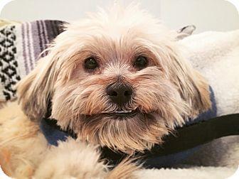 Shih Tzu/Poodle (Miniature) Mix Dog for adoption in Los Angeles, California - HI! I'm George!