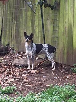Blue Heeler Mix Dog for adoption in Nixa, Missouri - Miller #837