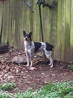 Blue Heeler Mix Dog for adoption in Nixa, Missouri - Miller #837X