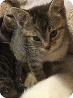 Domestic Shorthair Kitten for adoption in Weatherford, Texas - Rachel