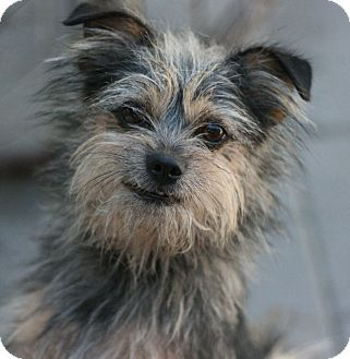 Terrier (Unknown Type, Small) Mix Dog for adoption in Canoga Park, California - Donnie