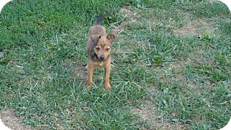Terrier (Unknown Type, Small) Mix Puppy for adoption in Ashville, Ohio - Jerry