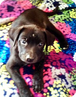 Labrador Retriever Mix Puppy for adoption in East Windsor, Connecticut - Connor-ADOPTION PENDING