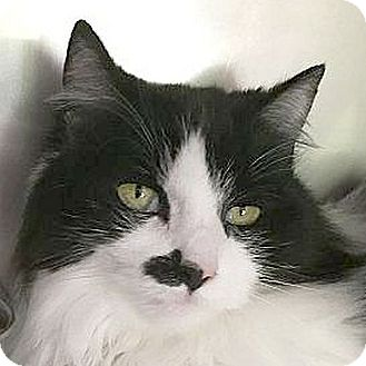 Domestic Longhair Cat for adoption in Port Angeles, Washington - Sadie