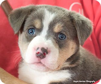 Anatolian Shepherd Mix Puppy for adoption in Chattanooga, Tennessee - Ace