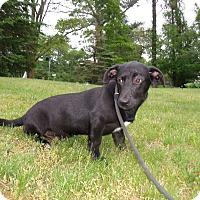 Dachshund/Labrador Retriever Mix Puppy for adoption in LAKEVILLE, Massachusetts - TeDDy