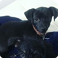 Adopt A Pet :: Chardonnay: adoption pending - Astoria, NY