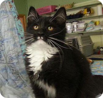 Domestic Longhair Cat for adoption in Alturas, California - Rango