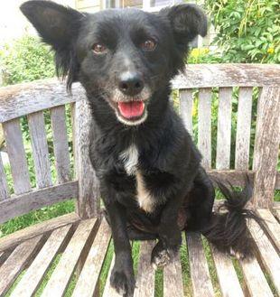 Pomeranian/Corgi Mix Dog for adoption in Fredericksburg, Texas - Sasha