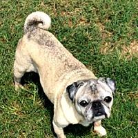 Adopt A Pet :: Juliette - Grapevine, TX