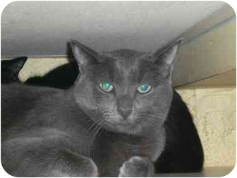 Domestic Shorthair Cat for adoption in Lombard, Illinois - A-Rod