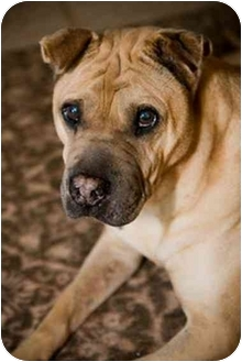 Shar Pei Dog for adoption in Houston, Texas - Lucky