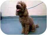 Poodle (Standard) Dog for adoption in Pembroke pInes, Florida - Brownie