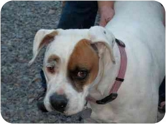 Boxer Dog for adoption in Arenas Valley, New Mexico - Pearl