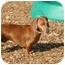 Photo 1 - Dachshund Dog for adoption in Ft. Myers, Florida - Mr French