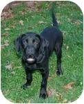 Labrador Retriever Puppy for adoption in Rochester, New Hampshire - Brett