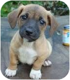 Chihuahua/Dachshund Mix Puppy for adoption in Londonderry, New Hampshire - Bandito
