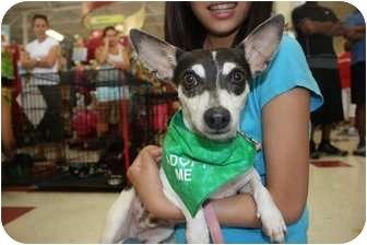 Rat Terrier Mix Dog for adoption in Arlington, Texas - Jack