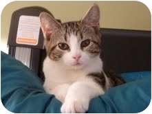 Domestic Shorthair Cat for adoption in Fredericton, New Brunswick - Matrix