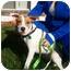 Photo 3 - Beagle/Hound (Unknown Type) Mix Puppy for adoption in Bardonia, New York - Charlotte