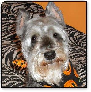 Miniature Schnauzer Dog for adoption in Crystal River, Florida - Precious