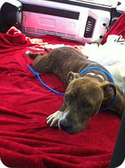 American Bulldog Mix Puppy for adoption in Orlando, Florida - Buddy Love