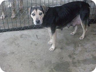 Shepherd (Unknown Type) Mix Dog for adoption in Henderson, North Carolina - Shella