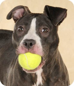 American Pit Bull Terrier Mix Dog for adoption in Chicago, Illinois - Sedona