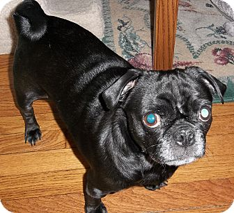 Pug Dog for adoption in Hinckley, Minnesota - Ivy