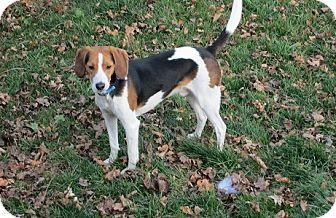 Beagle Dog for adoption in Hamilton, Ontario - Skippy
