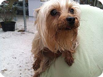 Yorkie, Yorkshire Terrier Mix Dog for adoption in Bradenton, Florida - Honey