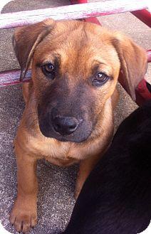 German Shepherd Dog Mix Puppy for adoption in Walker, Louisiana - Maggie